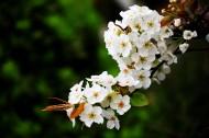 盛開的梨花圖片_9張