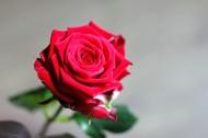 红玫瑰高清图片_16张