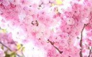 姹紫嫣紅的杏花圖片_12張