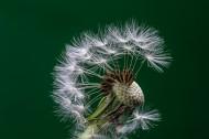 蒲公英的种子微距摄影图片_13张