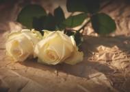 清純的白玫瑰圖片_8張