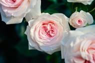 清新的粉玫瑰图片_10张