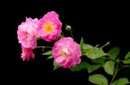 蔷薇花图片_20张