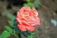 玫瑰花卉圖片_11張