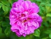 紫色玫瑰花圖片_18張