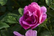 玫瑰花圖片_15張