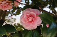 粉紅色山茶花高清圖片_14張