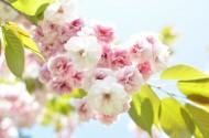 树枝上盛开的樱花图片_15张