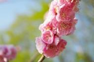 梅花树枝上粉红色的梅花图片_11张