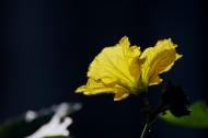 黄色丝瓜花图片_7张