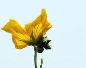 黄色丝瓜花图片_8张