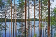 挺拔的松树图片_15张