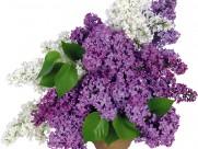 紫色丁香花圖片_14張