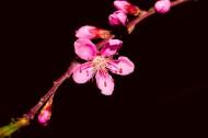 粉紅色桃花圖片_8張