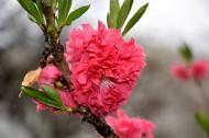 红色桃花图片_18张