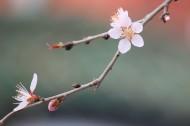 燦爛的桃花圖片_12張