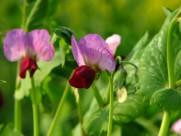 可愛的豌豆花圖片_9張