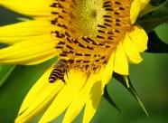 金黄色的向日葵图片_14张