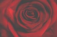 鮮紅的玫瑰花圖片_15張
