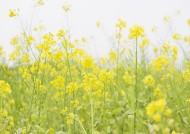 陽光下的黃色花田圖片_19張