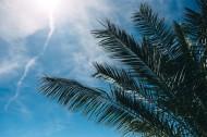 阳光下的棕榈树图片_11张