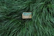 麦冬植物图片_1张