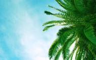 海边椰树图片_15张