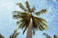 热带海边的椰树图片_11张