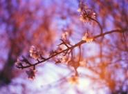 盛開的櫻花圖片_12張