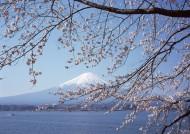 樱花树图片_58张