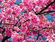 樱花图片_22张