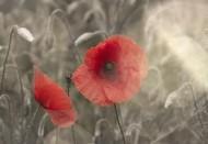 唯美的罌粟花圖片_9張