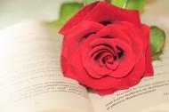 英語書上的紅色玫瑰花圖片_11張