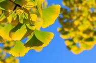 秋天如金色蝴蝶的银杏叶图片_10张