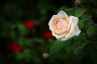 嬌艷的月季花圖片_12張