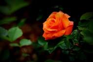 嬌艷的月季花圖片_11張
