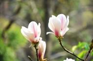 盛开的玉兰花图片_8张