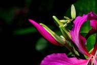 紫荊花圖片_24張