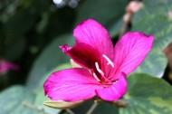 紫荊花圖片_19張
