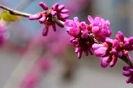 紫荊花圖片_10張