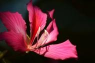 紫荊花圖片   _13張