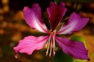 婀娜的紫荊花圖片_10張