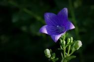 紫色的桔梗花圖片_6張