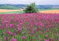 紫色花海圖片_13張