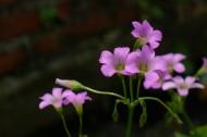 紅花酢漿草圖片_8張