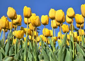 一組金黃色的郁金香圖片欣賞