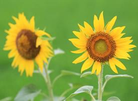 向陽而開的花,開起來就像陽光般燦爛,顏色里已經充滿陽光的味道