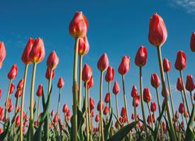 郁金香有良多色彩,黄的、红的、紫的,颜色斑斓多漂亮