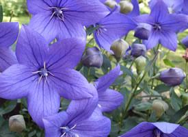 一組紫色高貴大氣的桔梗花圖片欣賞