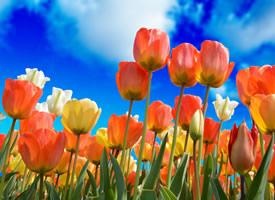 向着天空怒放的郁金香图片欣赏